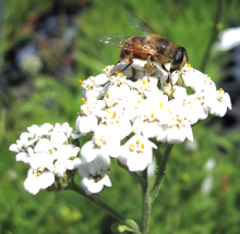 bee-on-yarrow